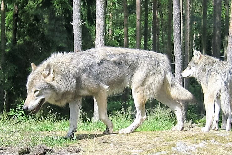 RT6-Wolves-photographed-incaptivity-Nordens-ark