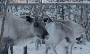 Reindeer herding is essential to the identity of many Sami people. Photo: Svenska Institutet / Flickr.