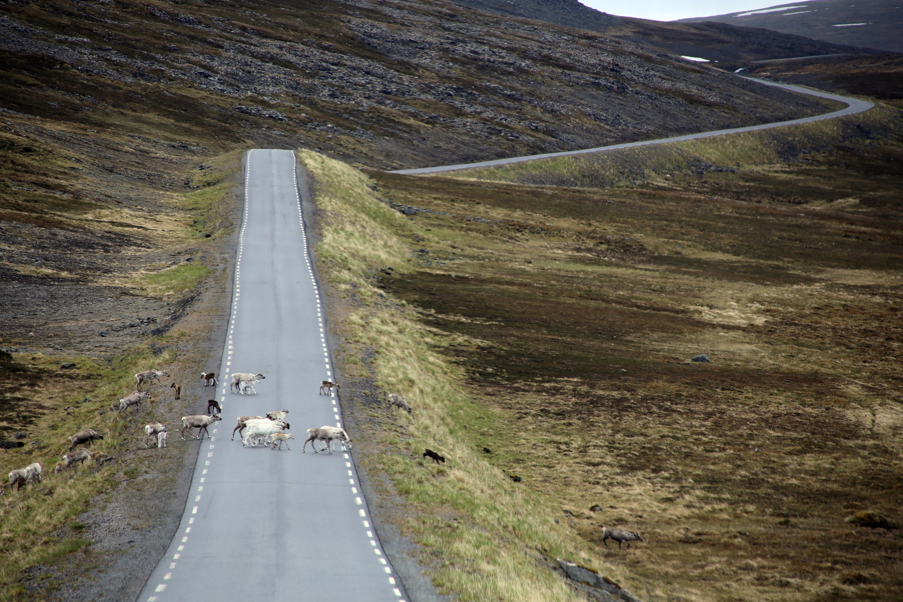 Reindeer crossing the street, Finnmark, Norway. Photo: Mark König / Unsplash